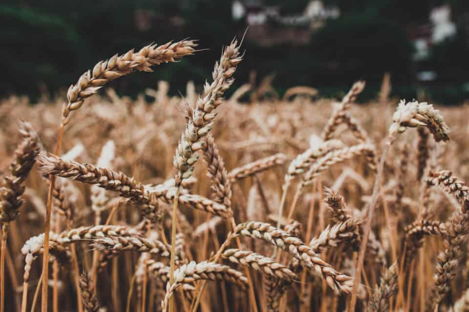 herbe de blé bio