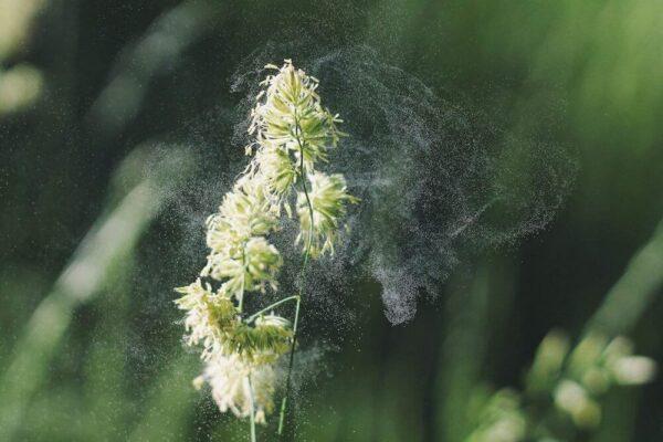 graminés-allergies